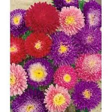 Aster Powder Puff Mix