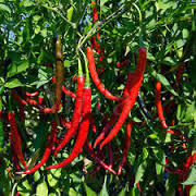 Pepper Cayenne Long Slim