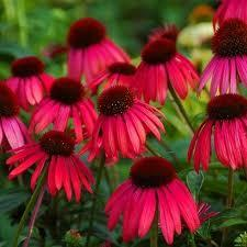 Red Coneflower