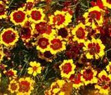 Coreopsis Plains