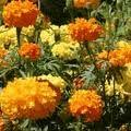Marigold Cracker Jack