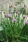 Chives, Regular